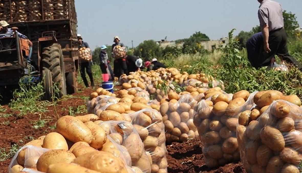 خروبي: تسويق كميات من البطاطا بـ 50 دينار